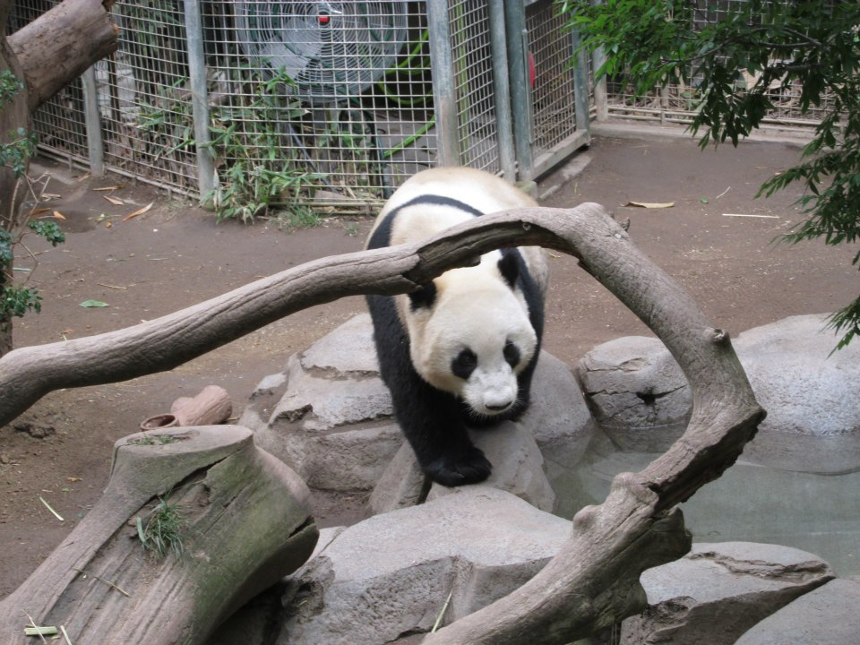 san-diego-zoo-california-panda-2