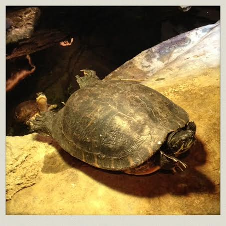 South-Shore-Natural-Science-Center-turtle