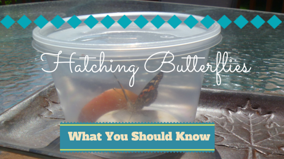 Hatching Butterflies - What You Should Know