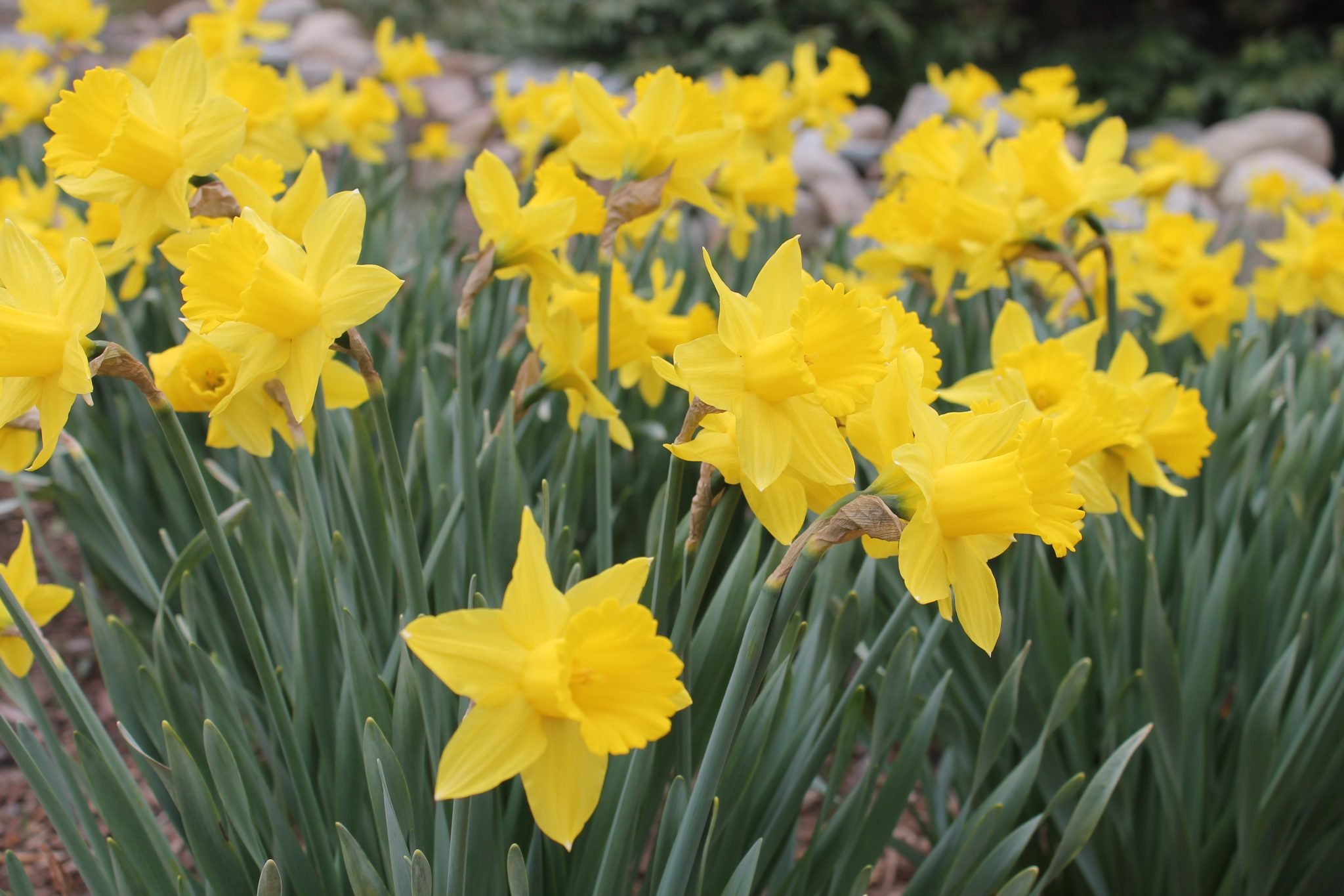 Daffodils at Heritage Museums and Gardens in Sandwich
