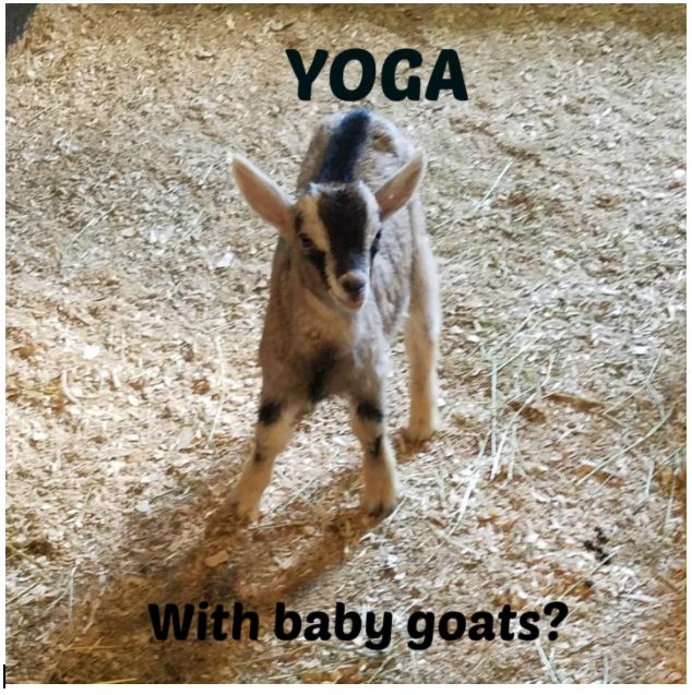 Yoga on a farm with baby goats