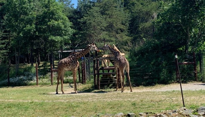 Zoo New England has opened back up after their temporary closure in mid-March due to the global health pandemic (with safety measures in place).